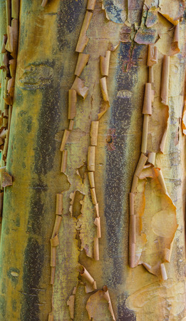 Peeling tree bark showing natural texture