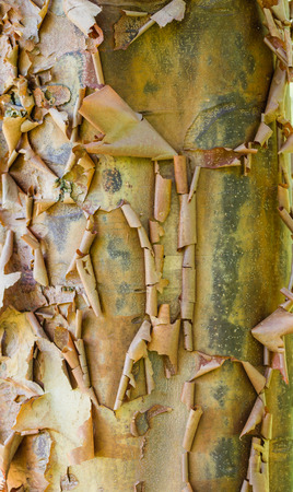 bark peeling from tree: Peeling tree bark showing a natural texture