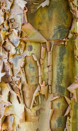 bark peeling from tree: Peeling tree bark showing a natural texture
