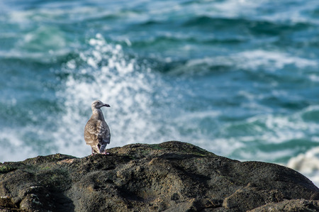 sea gull: Immature sea gull watching the ocean waves Stock Photo