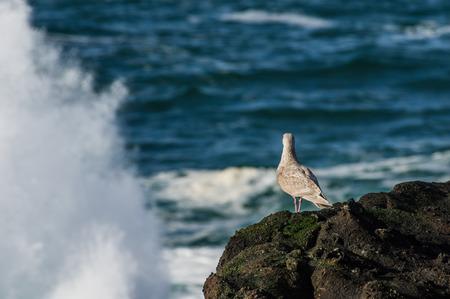 olas de mar: Inmaduro gaviota mirando las olas del mar