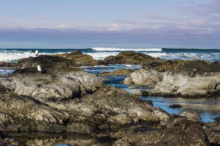 食べ物を探して潮プール エリアの海カモメ