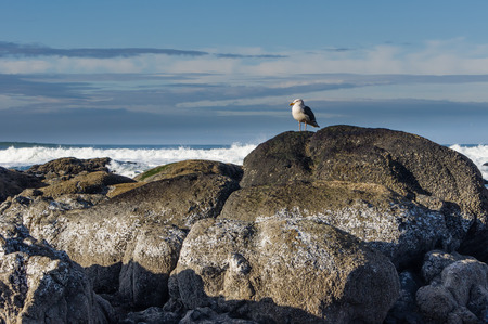 seabirds: Western gull looking for food on a large rock formation Stock Photo