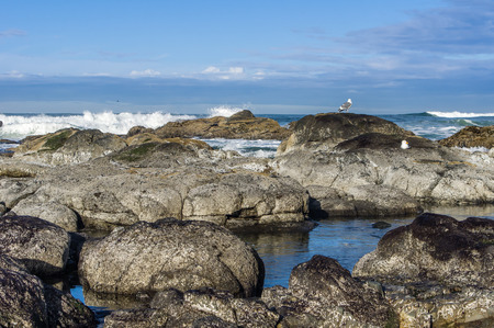 seabirds: Sea gulls in a tide pool area looking for food