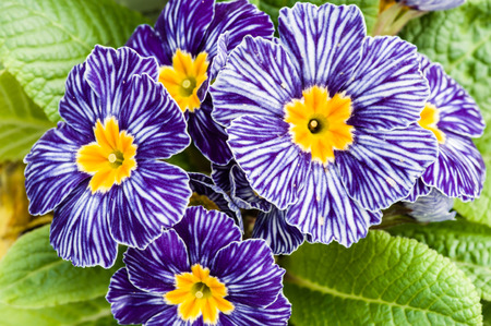 Primroses with blue striped flowers