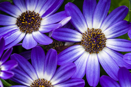 Blue aster flowers blooming with petals