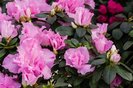 flowering plant: Azalea flowering plant with pink flowers