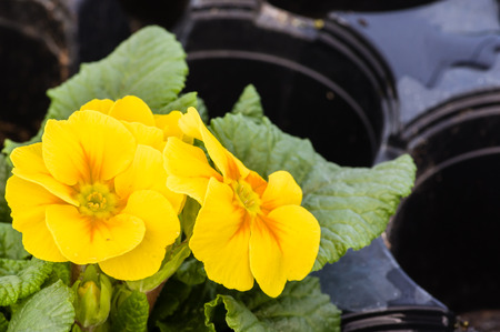 Yellow blooming primrose plants with green leaves