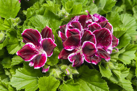 Purple regal or Martha Washington geraniums
