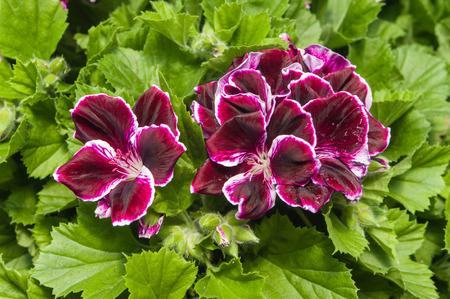martha: Purple regal or Martha Washington geraniums