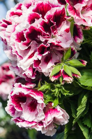 martha: Pink and white regal or Martha Washington geraniums