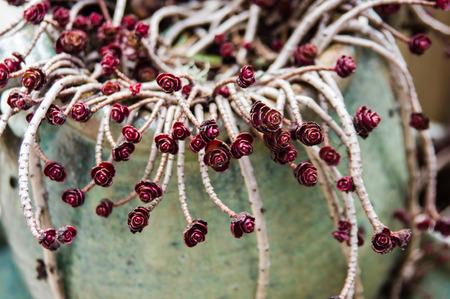 trailing: Sedum plant showing trailing stems and leaves