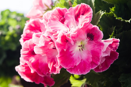 martha: Pink regal or Martha Washington geraniums
