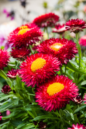 garden flower: Strawflower plants with red and yellow blooms
