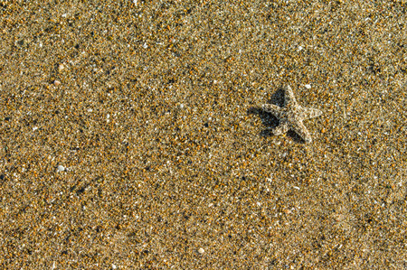echinoderm: Sandy background with small starfish on the beach