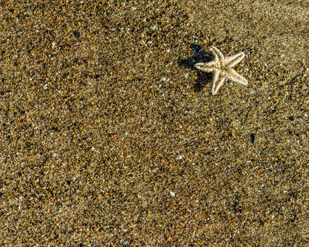 echinoderm: Tiny starfish on a brown sandy beach upside down Stock Photo