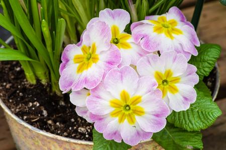 Spring flowers with blooming pink primroses Stok Fotoğraf