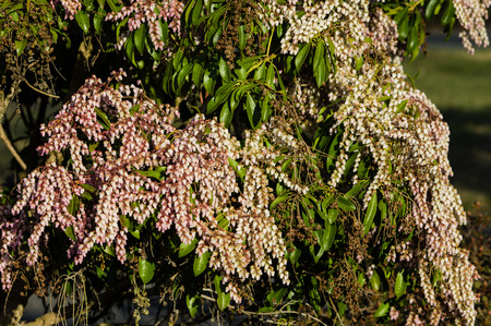pieris: Pieris japonica shrub in full bloom in a garden Stock Photo