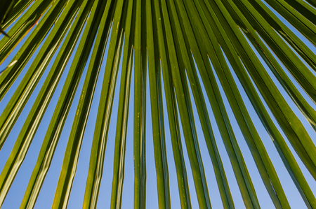 palm frond: A palm frond against blue sky for use as texture or background