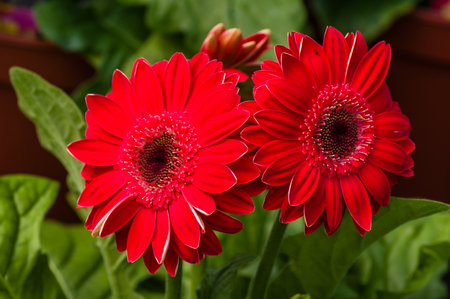 gerbera daisy: Red gerbera daisy with flowers and green leaves Stock Photo