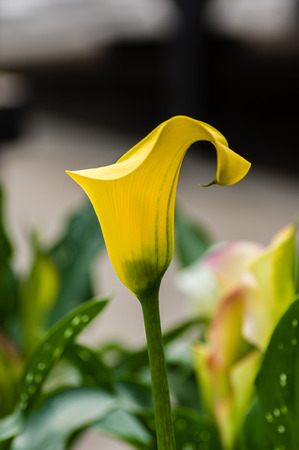 Blooming yellow calla lily in a garden
