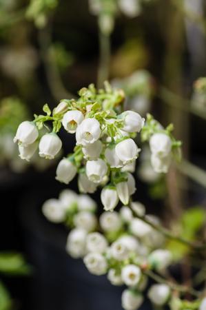 pieris: Pieris japonica flowers blooming with white petals