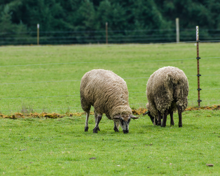 aries: Flock of sheep grazing in the farmers pasture