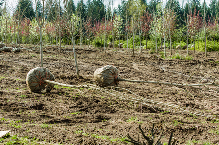 Landscape trees dug at balled up at a nursery