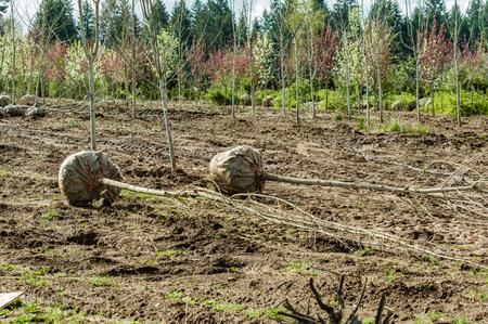 dug: Landscape trees dug at balled up at a nursery