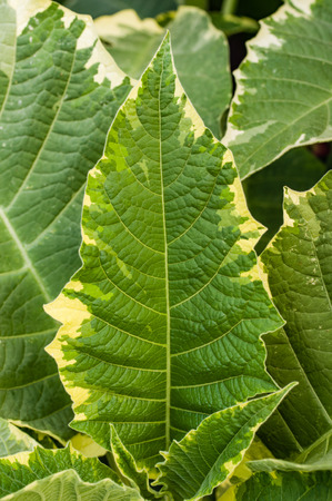 variegated: A variegated leaf with yellow edge