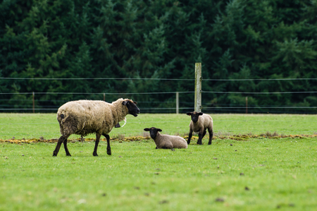 Flock of sheep grazing in the farmers pasture