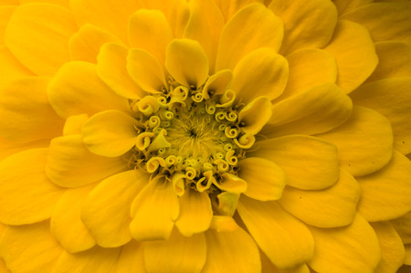 macro image: Closeup macro image of yellow zinnia flower