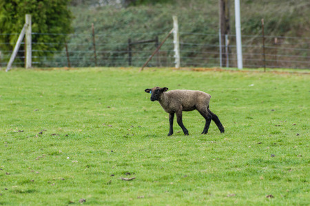Baby lamb looking for its mother in the pasture