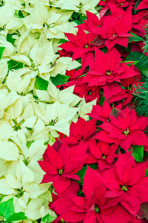 christmastide: Traditional flowering Poinsettia plants in bloom for the Christmas holidays