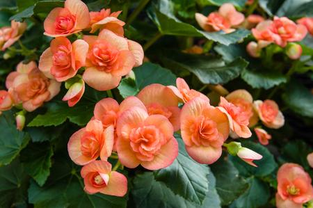 다채로운 꽃과 베고니아 식물을 피 스톡 콘텐츠