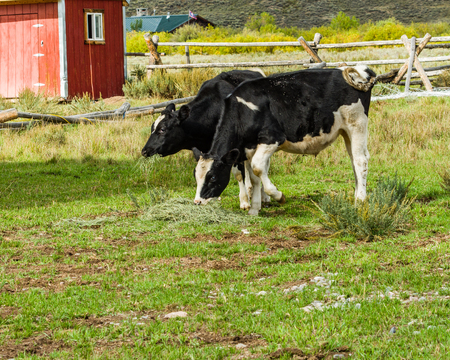 Two cows foraging for food in a green pasture Stock Photo