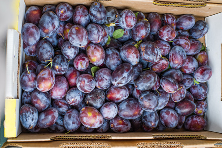 harvested: Display of freshly harvested prune plums at the farmers market