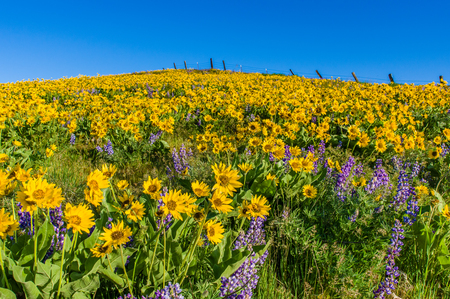 WIldflower praire with Balsamroot and Lupine in bloom Stock Photo