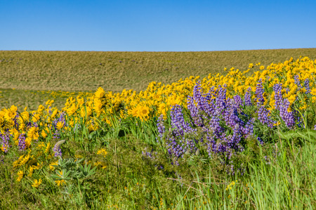 WIldflower praire with Balsamroot and Lupine in bloom Imagens