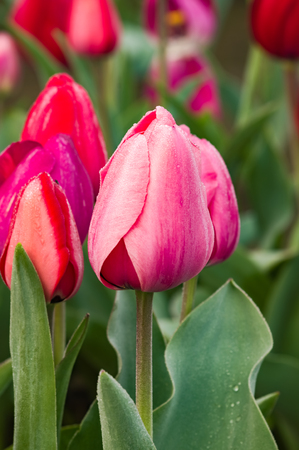 Blooming pink tulip flowers on the bulb farm
