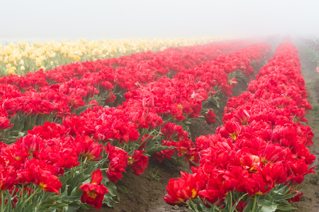 Blooming tulip fields in the fog with red tulips
