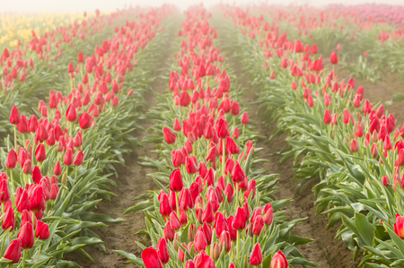 Rows of blooming red tulips in the foggy mist