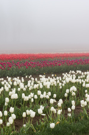 Blooming tulip fields in the fog with white tulips