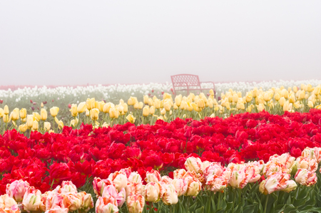 Blooming tulip fields in the fog with red tulips in row Banco de Imagens