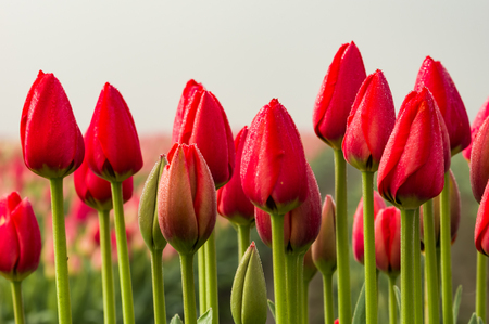 Row of red tulips with green stems on a foggy morning