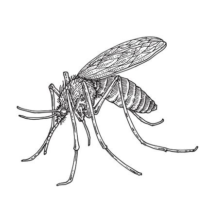 mosquitoes: Mosquito