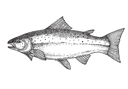 Salmon, Hand drawn vector