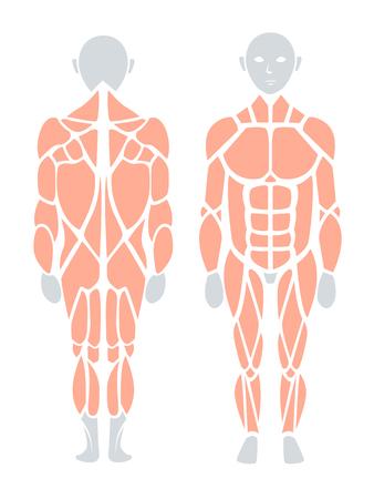 Anatomie van menselijke spier in rug en voorzijde, Vector infographic element. Vector Illustratie