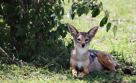 maasai mara: Selvaggio Cape Fox, Masai Mara National Park, Kenya, Africa