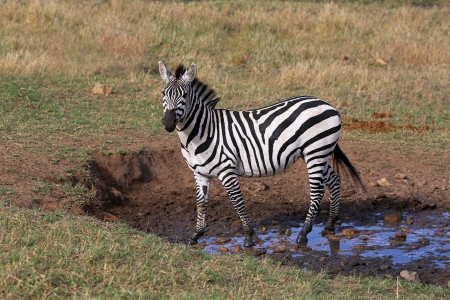 maasai mara: Wild zebra, Maasai Mara National Reserve, Kenya, Africa Stock Photo